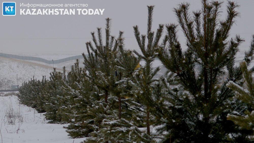 В Алматы высадили около 500 хвойных деревьев . Фото: Эрик Куватов